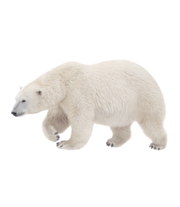 Jääkaru kohastumine
