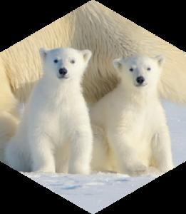 Jääkarude sigimine